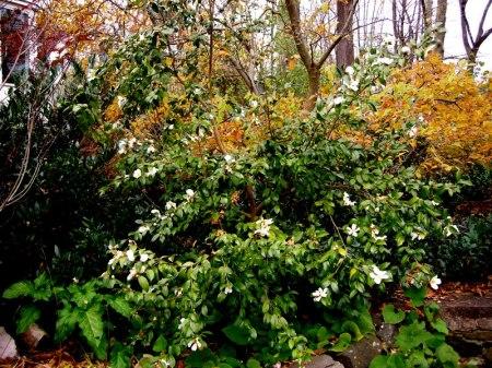 Camellia olifera Lu Shan Snow