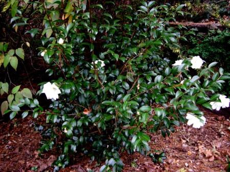 Camellia Winter's Snowman