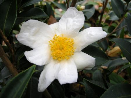 Camellia Arctic Snow