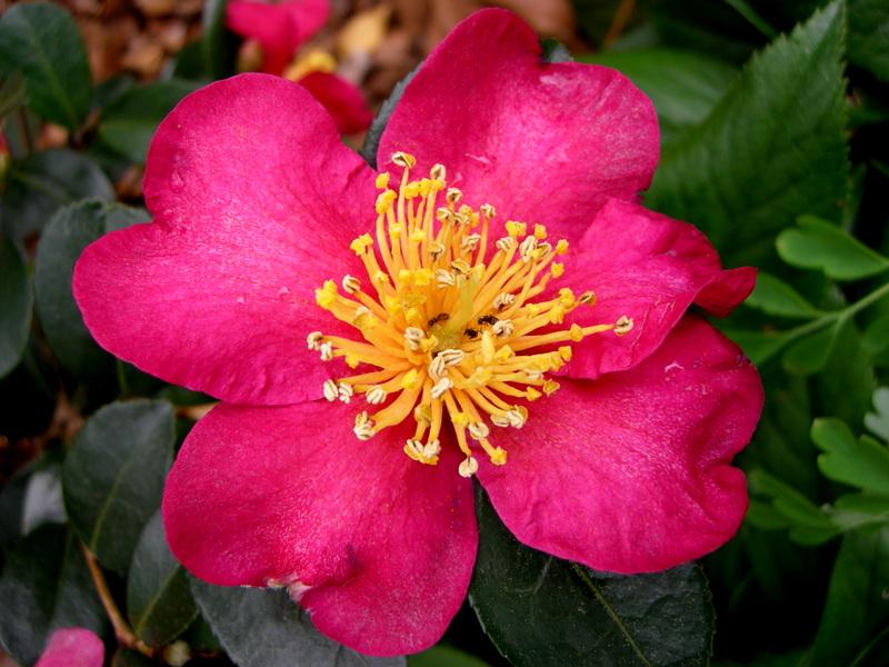 Camellia sasanqua long island pink carolyn 39 s shade gardens for Camellia sasanqua