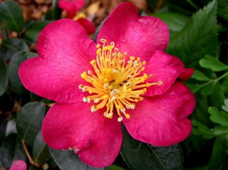 Camellia sasanqua Nokoriko