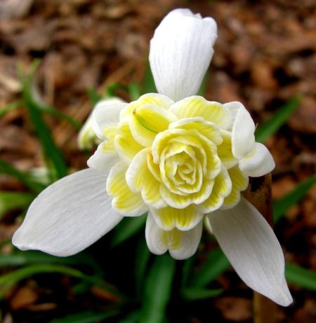 Galanthus nivalis 'Lady Elphinstone' Cadwalader