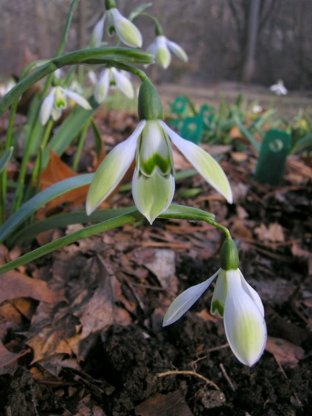 Galanthus 'Cowhouse Green'