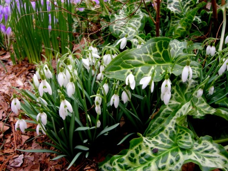 Galanthus nivalis & Arum italicum 'Pictum'