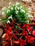 Galanthus nivalis & Heuchera 'CremeBrulee'