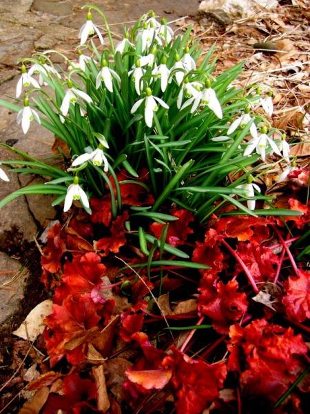 Galanthus nivalis & Heuchera 'Creme Brulee'