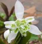 Galanthus nivalis 'FlorePleno'