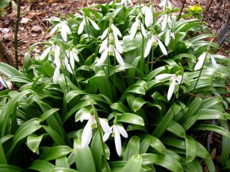 Galanthus woronowii Cresson Garden
