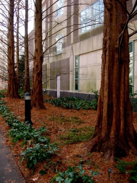 Metasequoia glyptostroboides & Arum italicum