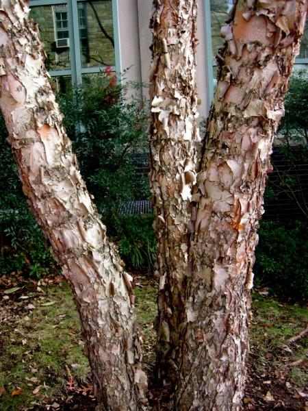 Betula nigra 'Dura Heat'