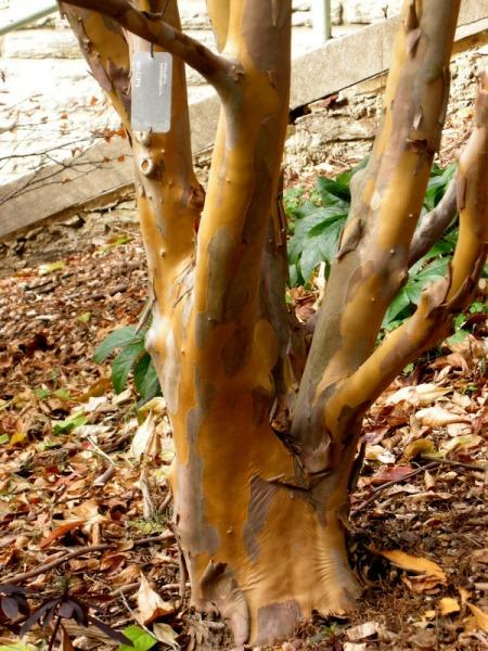 Stewartia pseudocamellia var. koreana, Korean stewartia