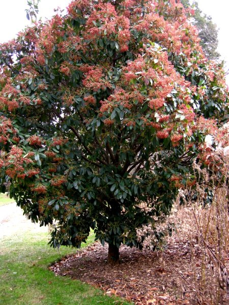 Photinia serrulata, Chinese photinia
