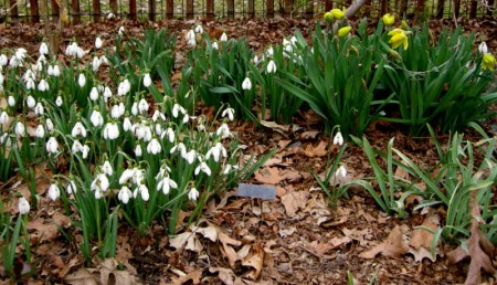 Galanthus 'S. Arnott', Narcissus 'Rijnveld's Early Sensation'