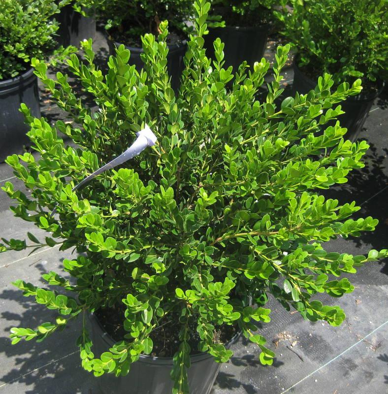 Buxus microphylla wintergreen 7 12 10 ls for Tall evergreen shrubs