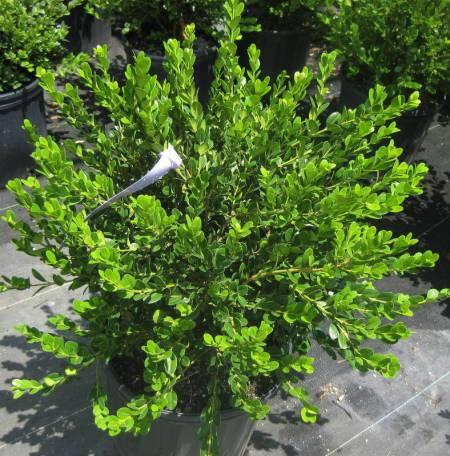 Buxus microphylla Wintergreen 7-12-10_LS