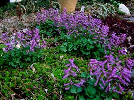 Corydalis solida subsp. incisa