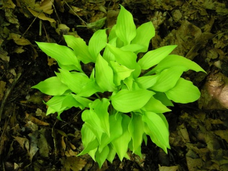 Hosta 'Fether Boa'