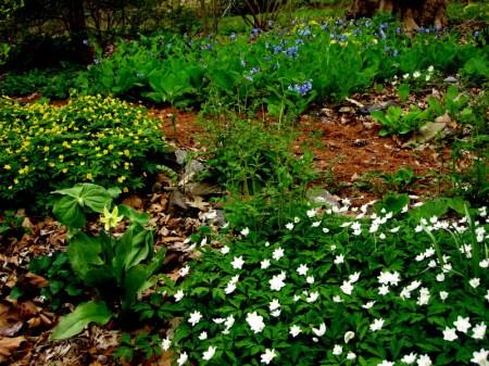 Anemone ranunculoides, Anemone nemorosa 'Vestal'