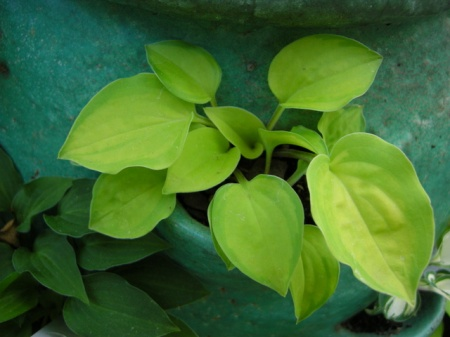 Hosta 'Faithful Heart'
