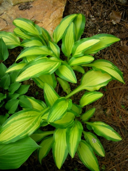 Hosta 'Moon Shadow'