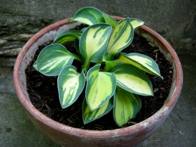 Hosta 'Pure Heart'