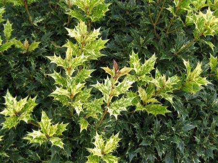 Osmanthus heterophyllus Goshiki 10-26-11_LS