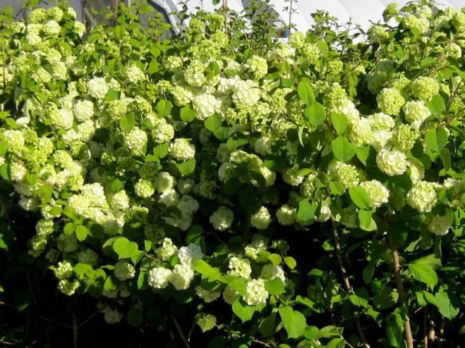 Viburnum plicatum Popcorn 4-6-12_LS (2)