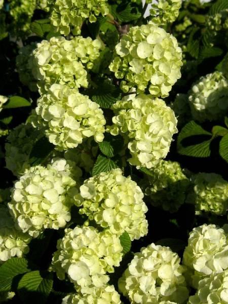 Viburnum plicatum Popcorn 4-6-12_LS (5)