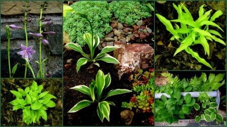 Miniature hosta collage