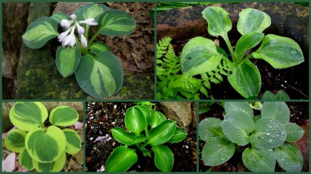Mouse Ears Hostas