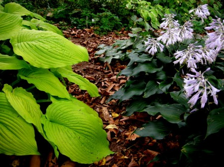 Hosta 'Jimmy Crack Corn' & Hosta 'Blueberry Cobbler'