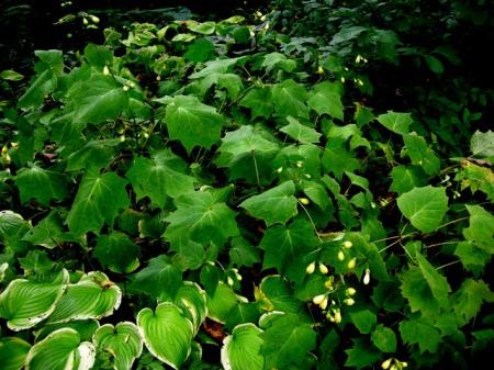 Kirengoshoma palmata