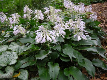 Hosta 'Blueberry Cobbler'