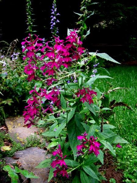 Lobelia seedling
