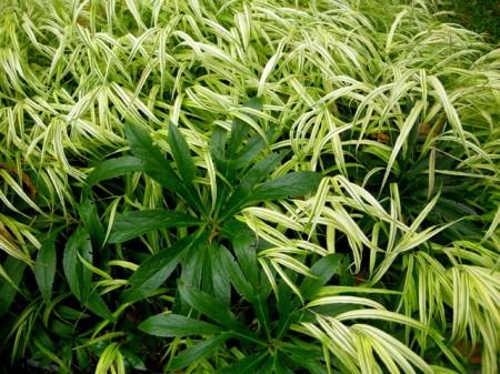 Hakonechloa macra 'Aureola' & Helleborus multifidus seedling
