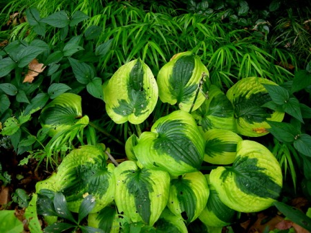 Hosta 'Summer Lovin' & Hakonechloa macra 'All Gold'