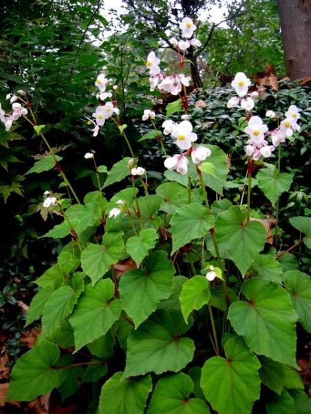 Begonia grandis 'Alba'
