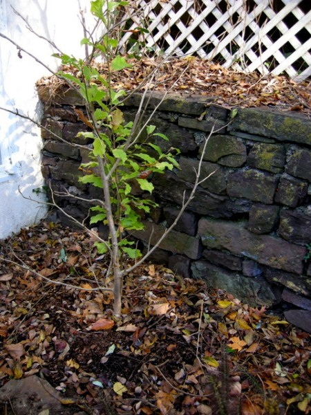 Transplant Magnolia sieboldii Fall 2014