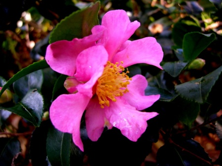 Camellia x 'Long Island Pink'