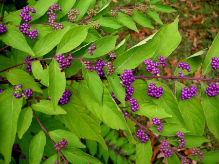 Callicarpa 'Early Amethyst'