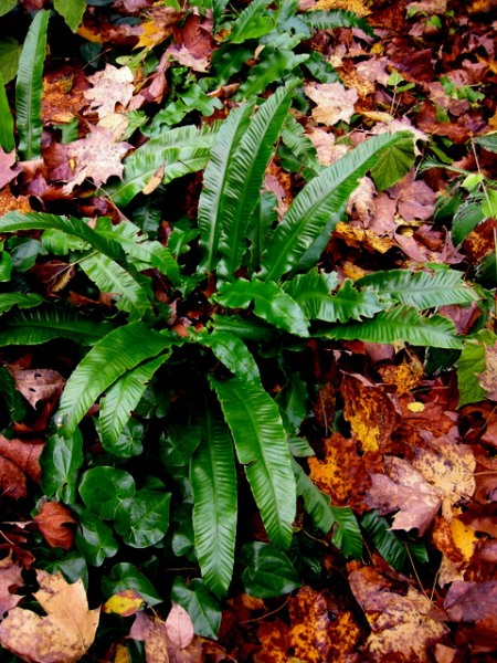 Hart's tongue fern with epimedium