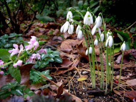 Galanthus reginae-olgae, Lamium 'Shell Pink'