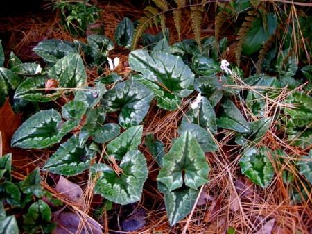 Cyclamen hederifolium 'Alba'