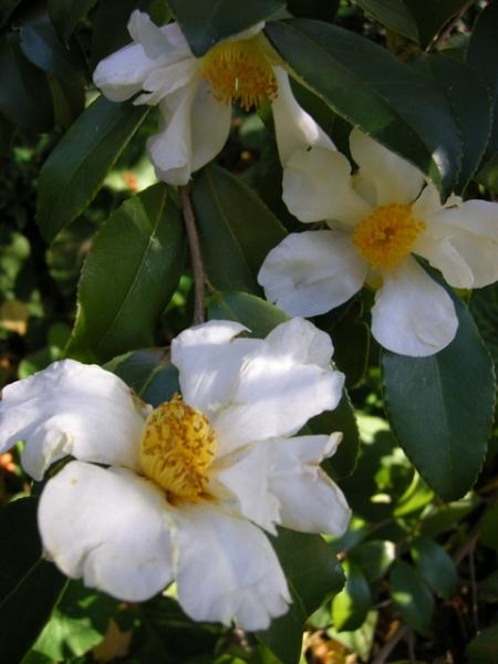 Camellia 'Lu Shan Snow'