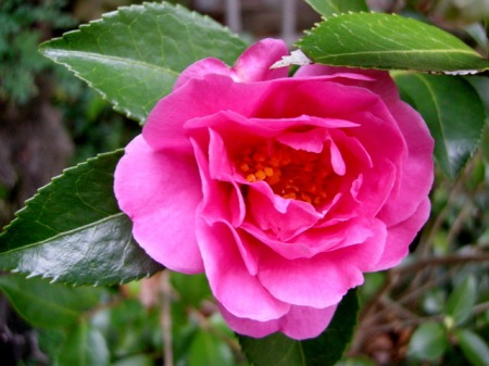 Camellia x 'Winter's Joy'