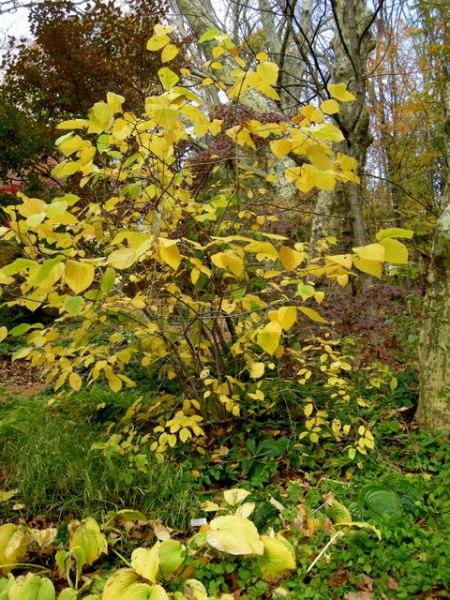 'Hartlage Wine' sweetshrub