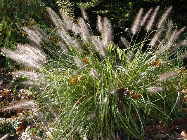 Camellia winter s snowman carolyn 39 s shade gardens for Fountain grass for shade