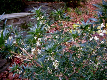 Osmanthus heterophyllus 'Sasaba'