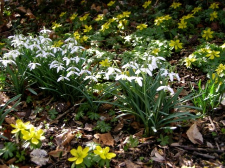 Galanthus nivalis and Eranthis