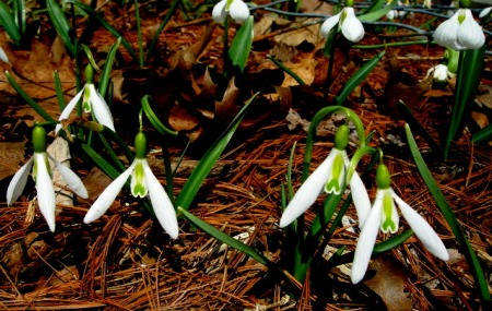 Galanthus 'Wasp' with Galanthus 'Diggory'